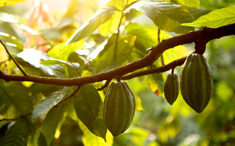 cacao plantacion claudio corrallo